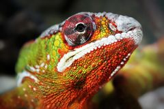 Colorful iguana. Closeup stock images