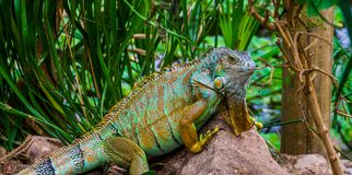 Colorful iguana in closeup, tropical lizard from America, popular pet in herpetoculture royalty free stock photo