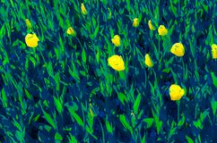 Colorful illustration of tulips Royalty Free Stock Photos