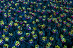 Colorful illustration of tulips Royalty Free Stock Photography