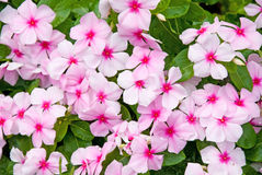 Colorful Impatiens Flowers Stock Photo