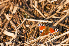 Colorful Inachis io butterfly sitting on a pile of wood Royalty Free Stock Images