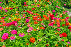 Colorful indian blanket flower in the park Royalty Free Stock Images