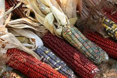 Colorful indian corn. Many colorful ears of indian corn royalty free stock photography