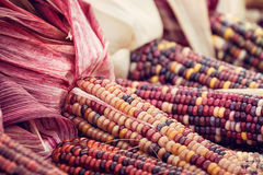 Colorful Indian Corn in autumn Royalty Free Stock Image
