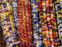 Colorful Indian corn hanging on wooden wall. Stock Photo