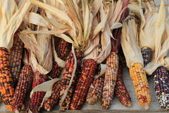 Colorful Indian Corn On Table Royalty Free Stock Images