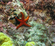Indian Sea Star, Great Barrier Reef, Queensland, Australia Royalty Free Stock Image