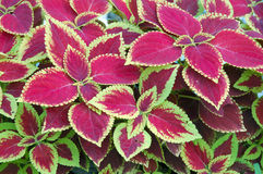 Colorful Indoor Plant Royalty Free Stock Photography