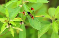Colorful insect with geometric wings. Sitting on green leaf in Costarica stock photography