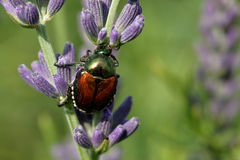 Colorful Invader. A Japanese Beetle feeds on Lavender buds in the Herb Garden Royalty Free Stock Photo
