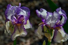 Iris in May. Colorful iris blooms in late May. Purple and white Royalty Free Stock Image