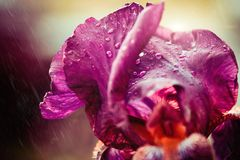 Iris flower with rainy drops. Colorful iris flower with rainy drops on leafs closeup royalty free stock images