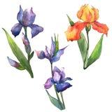 Colorful irises. Floral botanical flower. Wild spring leaf wildflower isolated. royalty free illustration