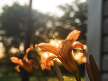 Colorful irises. Iris flowers take advantage of the sunset stock photography