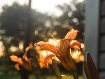 Colorful irises. Iris flowers take advantage of the sunset Stock Photography