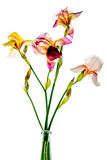 Colorful irises on a white background. Colorful bouquet of irises on a white background stock photos