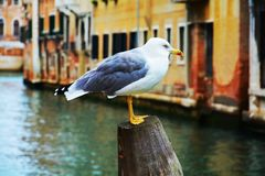 Colorful isolated seagull in Venice, Italy Royalty Free Stock Photos