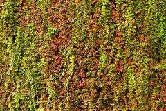 Colorful ivy Stock Image