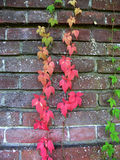 Colorful Ivy on Brick Wall Royalty Free Stock Images