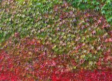 Colorful ivy-clad background Stock Image