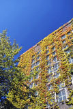 Colorful ivy climbing up an old warehouse Royalty Free Stock Images