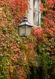 Colorful ivy on the house wall in autumn Royalty Free Stock Image