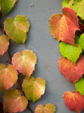 Colorful ivy leaves in fall. Green ivy leaves changing to colorful in autumn Royalty Free Stock Image