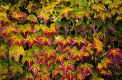 Colorful ivy leaves Stock Photo