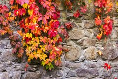 Colorful ivy plant on stone wall. Beautiful autumn background with natural textures royalty free stock photos