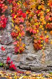 Colorful ivy plant on stone wall. Beautiful autumn background with natural textures royalty free stock photography