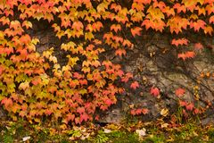 Colorful ivy plant on stone wall. Beautiful autumn background with natural textures stock photos