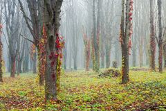 Colorful ivy plant on trees in foggy park. Mysterious weather in november stock photography