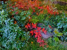 Colorful Ivy. Ivy on a rock wall in Sam Johnson Park in the fall - Redmond, OR royalty free stock image