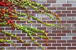 Colorful ivy Royalty Free Stock Photography