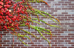 Colorful ivy on the wall Royalty Free Stock Photography