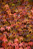Colorful ivy on the wall in autumn Royalty Free Stock Photo