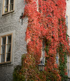Colorful ivy on the wall in autumn Royalty Free Stock Image