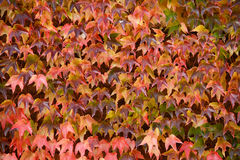 Colorful ivy on the wall in autumn Stock Photo