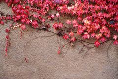Colorful ivy on the wall in autumn Royalty Free Stock Photography