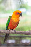 Colorful jandaya conure Royalty Free Stock Images