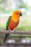 Colorful jandaya conure royalty free stock images