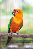 Colorful jandaya conure Royalty Free Stock Image