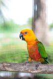 Colorful jandaya conure Royalty Free Stock Photography