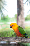 Colorful jandaya conure Stock Photography