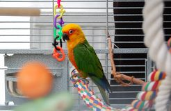 Colorful Jandaya conure parrot. Pet in cage. Royalty Free Stock Photos