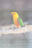 Colorful jandaya or jenday conure Royalty Free Stock Photos