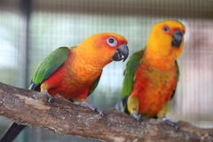 Colorful jandaya or jenday conure Royalty Free Stock Image