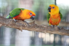Colorful jandaya or jenday conure Stock Images
