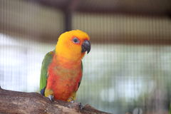 Colorful jandaya or jenday conure Royalty Free Stock Photo